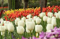 رنگ آمیزی قلب پایتخت با  ۱۳۰ هزار گل لاله همزمان با بهار طبیعت