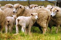 بازاربازی مهندسی شده برای افزایش قیمت گوشت